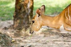 Tête de Nyala Image libre de droits
