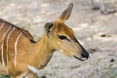Tête de Nyala Photo libre de droits