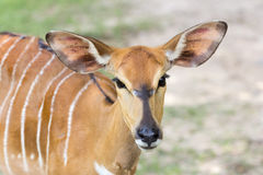Tête de Nyala Image stock