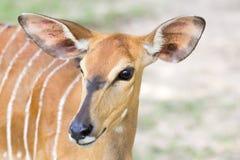 Tête de Nyala Photos stock