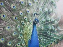 Tête de paon Clavettes colorées Photos libres de droits
