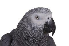 Tête de perroquet de gris africain Photographie stock libre de droits