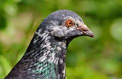 Tête de pigeon Photographie stock