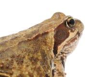 Tête de plan rapproché aux yeux saillants de grenouille Photo libre de droits