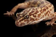 Tête de plan rapproché de macularius d'Eublepharis de gecko de léopard d'isolement sur le noir photographie stock libre de droits