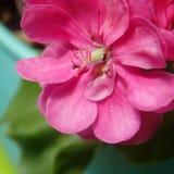 Tête de plan rapproché rose de fleur de géranium Photographie stock libre de droits
