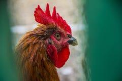 Tête de poulet ou de coq adulte image libre de droits