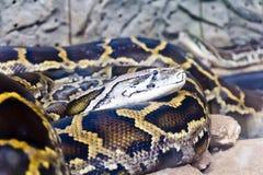 Tête de python au beau milieu des pierres Photo stock