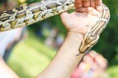 Tête de python réticulé dans les mains de l'homme photo libre de droits