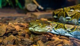 Tête de python réticulé en plan rapproché, beau visage de serpent avec le serpent coloré d'oeil, brun et jaune jaune, reptile pop image libre de droits