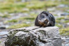 Tête de repos adorable de bébé phoque de fourrure sur un bloc en bois sur la plaine de Salisbury, la Géorgie du sud photographie stock libre de droits