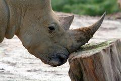 Tête de rhinocéros Image stock