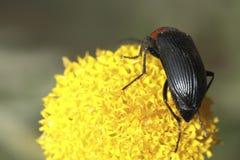 Tête de rouge d'insecte photos stock