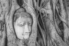 Tête de s de Bouddha la 'dans l'arbre s'enracine photo stock