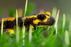 Tête de salamandre de feu dans la mousse vert clair Photo libre de droits