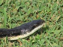 Tête de serpent noir en plan rapproché d'herbe images stock