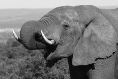 Tête de taureau d'éléphant Photographie stock