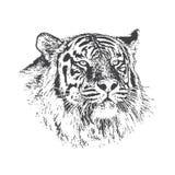 Tête de tigre Images libres de droits