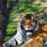 Tête de tigre de Bengale Images libres de droits