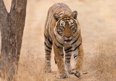 Tête de tigre dessus Photos stock