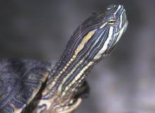 Tête de tortue Photos stock