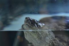 Tête de tortue Photos libres de droits