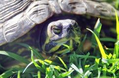 Tête de tortue Image stock