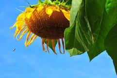 Tête de tournesol en plan rapproché avec une abeille autoguidant dedans images libres de droits