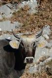 Tête de vache Images stock