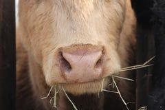 Tête de vache entre les contrefiches Image stock