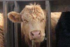 Tête de vache entre les contrefiches Photographie stock