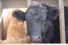 Tête de vache entre les contrefiches Photos libres de droits