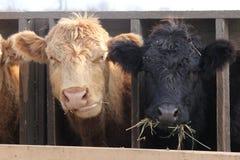 Tête de vache entre les contrefiches Images libres de droits