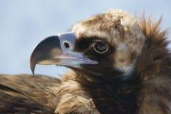 Tête de vautour moine. Photographie stock libre de droits