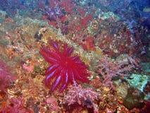 Tête des étoiles de mer d'épines Photo libre de droits