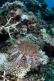 Tête des étoiles de mer d'épines Image stock