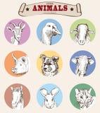 Tête des animaux de ferme Photos libres de droits