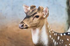Tête des cerfs communs Photographie stock libre de droits