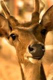 Tête des cerfs communs Image libre de droits