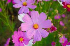 Tête des fleurs de cosmos Image libre de droits
