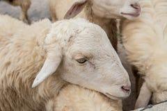 Tête des moutons blancs Photographie stock