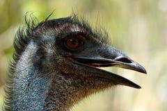 Tête des novaehollandiae de Dromaius d'oiseau d'émeu Photographie stock libre de droits