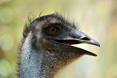 Tête des novaehollandiae de Dromaius d'oiseau d'émeu Photos libres de droits