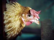 Tête des poulets à la ferme Foyer s?lectif photos stock