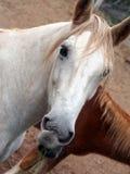 Tête du cheval blanc avec les cheveux rouges photographie stock libre de droits