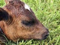 Tête du jeune veau brun se reposant sur la fin d'herbe verte  photographie stock libre de droits