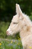 Tête du poulain blanc d'âne Photo stock