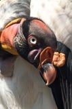 Tête du Roi vautour images stock