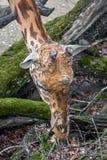 Tête du `s de giraffe Images libres de droits