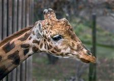Tête du `s de giraffe Photographie stock libre de droits